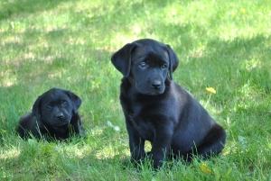 black labs